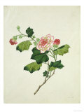 Chinese Botanical Illustration of Chinese Mallow Giclée-Druck