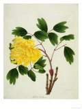 Yellow Peony, c.1800-1840 Gicl&#233;e-Druck