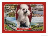 1989 Llandudno, Wales Postcard with Poodle Posters