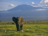 Elephant, Mt. Kilimanjaro, Masai Mara National Park, Kenya Fotografie-Druck von Peter Adams