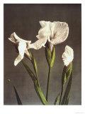 Iris Kaempferi, 19th Century Giclee Print by Ogawa Kazuma
