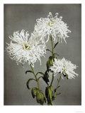 Chrysanthemum, 19th Century Giclee Print by Ogawa Kazuma