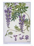 Botanical Diagram of Glycine Giclee Print by Eugene Grasset