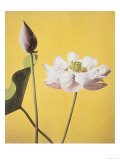 Lotus, 19th Century Reproduction procédé giclée par Ogawa Kazuma