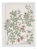 Botanical Diagram of Wild Rose Impression giclée par Eugene Grasset