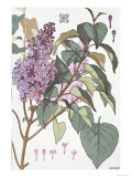 Botanical Diagram of Glycine Giclee Print by Eugene Grasset