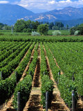 Vineyard, Calistoga, Napa Valley, California Photographic Print by John Alves