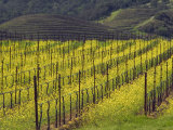 Springtime Mustard Flowers, Napa Valley, Oakville, California Photographic Print by Janis Miglavs
