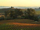 Vineyard from Artesa Winery, Los Carneros, Napa Valley, California Lámina fotográfica por Janis Miglavs