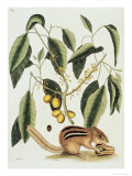 Ground Squirrel Natural History of Carolina, Florida and Bahamas Giclee Print by Mark Catesby