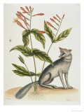 Grey Fox Natural History of Carolina, Florida and Bahamas Giclee Print by Mark Catesby