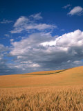 Soft White Wheat Ripening, Spokane County, Washington Photographic Print by Greg Probst
