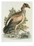 King of Vultures, c.1751 Giclee Print by George Edwards