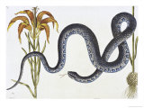 Wampum Snake Natural History of Carolina, Florida and Bahamas Anguis Giclee Print by Mark Catesby