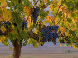 Red Wine Grapes Hanging, Yakima, Washington Photographic Print by Janis Miglavs
