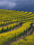 Springtime Mustard Blooms, Carneros Ava., Napa Valley, California Photographic Print by Karen Muschenetz