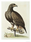 White Tailed Eagle from Hudson&#39;s Bay, c.1751 Giclee Print by George Edwards