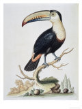 Le Toucan, c.1751 Reproduction procédé giclée par George Edwards