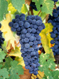 Cabernet Sauvignon Grapes, Napa Valley, California Photographic Print by Karen Muschenetz
