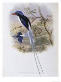 Port-Moresby Racket-Tailed Kingfisher Giclee Print by John Gould