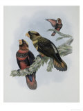 Banded Lory Giclee Print by John Gould
