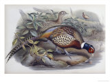 Chinese Ring Necked Pheasant Giclee Print by John Gould