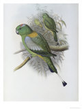 Racket Tailed Parrot Giclee Print by John Gould