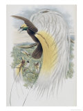 Papuan Bird of Paradise Giclee Print by John Gould