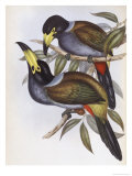 Hooded Hill Toucan Giclee Print by John Gould