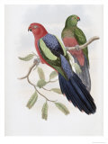 Yellow Winged King Parrot Giclee Print by John Gould
