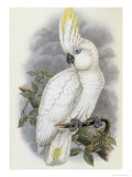 Blue Eyed Cockatoo Giclee Print by John Gould