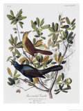 Boat Tailed Grackle, Male and Female Giclee Print by John James Audubon