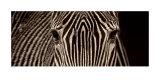 Zebra Grevy Art by Marina Cano