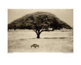 The Sheltering Tree, Serengeti Poster by Lorne Resnick