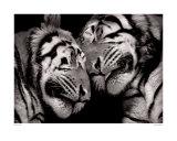 Sleeping Tigers Poster von Marina Cano