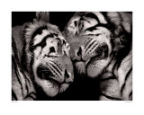 Sleeping Tigers Psters por Marina Cano