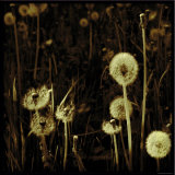 Dandelions in Various Stages Photographic Print by Ewa Zauscinska