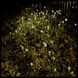 Dandelion Patch by Fence Photographic Print by Ewa Zauscinska