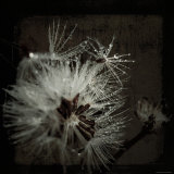Dandelion in Dew Photographic Print by Ewa Zauscinska