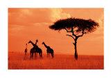 Giraffes at Sunset Prints