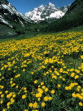 Field of Yellow Flowers with Mountains Photographic Print by Fred Luhman