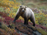 Grizzly Bear, Denali National Park, Alaska Photographic Print by Hal Gage