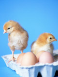 Baby Chicks and Carton of Eggs Photographic Print by Thomas McGuire