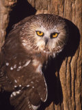 Saw Whet Owl on Tree Fotografie-Druck von Russell Burden