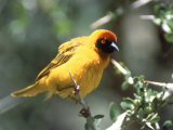 Masked Weaver, East Africa Fotografie-Druck von Elizabeth DeLaney