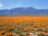 Spring, California Poppies, Gorman, CA Photographic Print by Mark Gibson