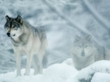 Gray Wolves Standing in Snowstorm Photographic Print by Lynn M. Stone