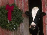 Holstein Cow in Barn with Christmas Wreath, IL Stampa fotografica di Lynn M. Stone
