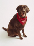 Chocolate Lab with Red Bandana Photographie par Michelle Joyce