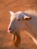 White Goat Photographic Print by Silvestre Machado